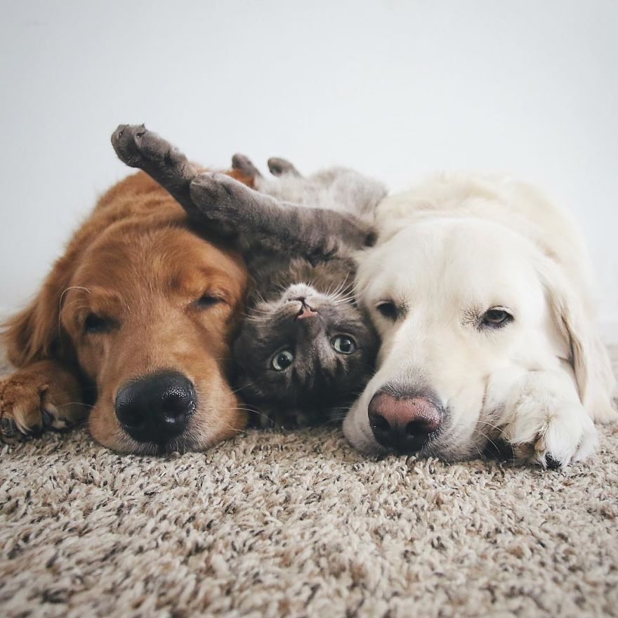 two dogs and a cat have become the ultimate trio and now do